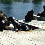CONAF y SERNAPESCA constatan en el Santuario Carlos Anwandter presencia de lobos marinos y cadáveres de cisnes