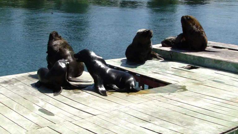 Gobierno aún no define fecha, ni lugar de traslado de lobos marinos que atacan cisnes en Valdivia